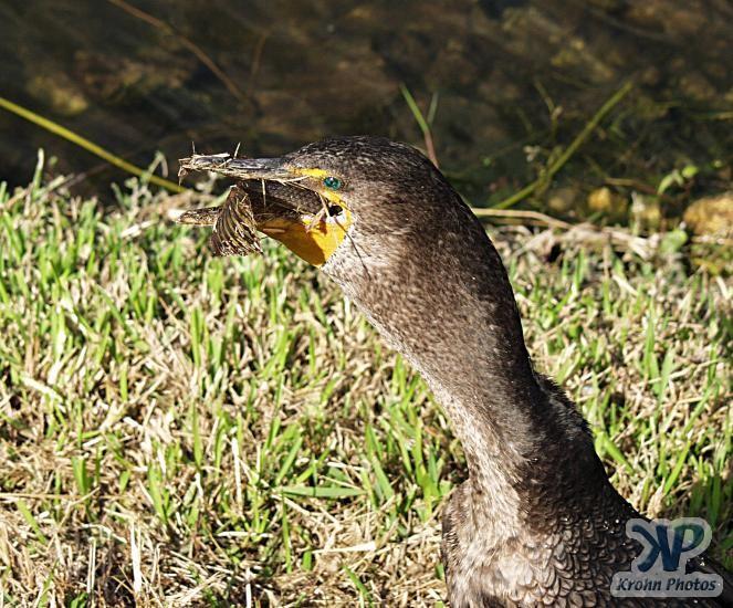 cd34-d106.jpg - Cormorant eating a fish # 7