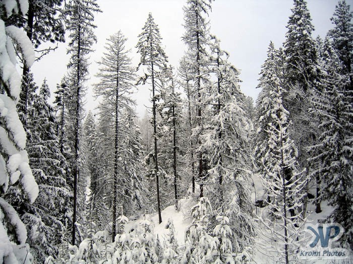 Kootenay forest in winter