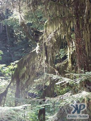 cd71-d13.jpg - Moss hanging from tree branches