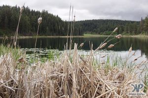 cd71-d06.jpg - Bullrushes