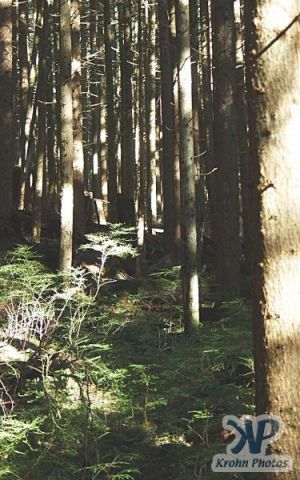 cd16-d09.jpg - Pacific NW Forest