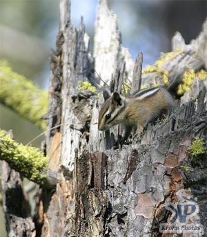 cd73-d05.jpg - Chipmunk