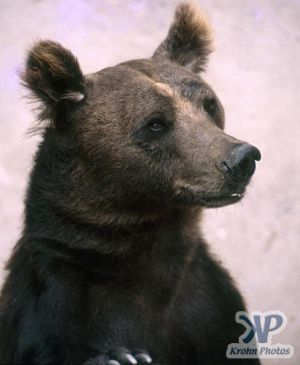 cd1040-s10.jpg - Brown Bear