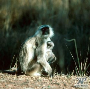 cd1021-s24.jpg - Monkeys