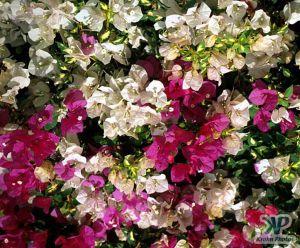 cd1021-s27.jpg - Flowers