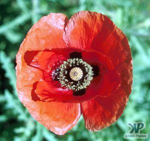 cd1021-s31.jpg - Poppy