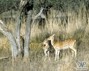 cd1021-s32.jpg - Deer grazing