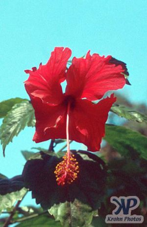 cd1021-s34.jpg - Hibiscus Flower