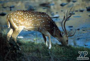 cd1022-s01.jpg - Deer