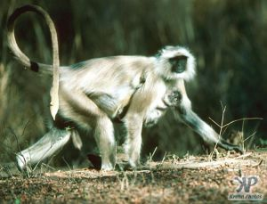 cd1022-s09.jpg - Monkeys