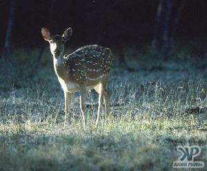 cd1022-s23.jpg - Deer