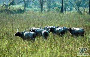 cd1022-s29.jpg - Water Buffalo