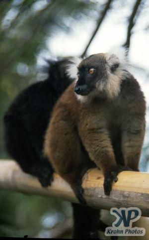 cd80-s01.jpg - Lemur