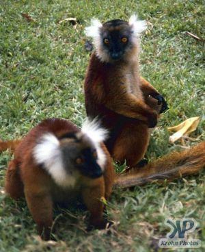 cd80-s36.jpg - Lemur