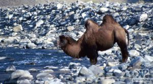 cd65-s25.jpg - Bactrian Camel
