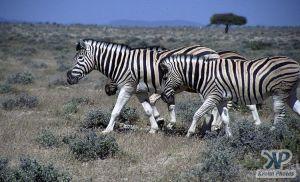 cd110-s02.jpg - Zebras
