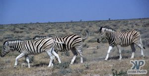 cd110-s04.jpg - Three Zebras