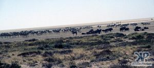 cd110-s08.jpg - A herd of zebras