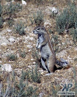 cd110-s10.jpg - Ground Squirrel