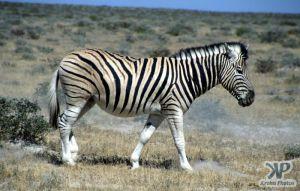 cd12-s09.jpg - Zebra