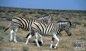 cd12-s10.jpg - Zebras
