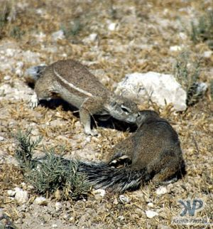 cd12-s17.jpg - Ground Squirrels