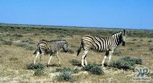 cd12-s18.jpg - Zebras