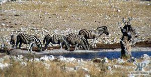 cd12-s32.jpg - Zebras