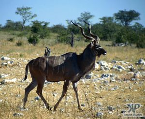 cd12-s33.jpg - Greater Kudu (Tragelaphus strepsiceros)