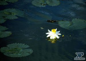 cd13-s19.jpg - Waterlily