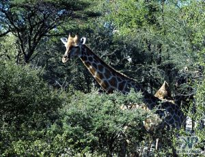 cd13-s24.jpg - Giraffe