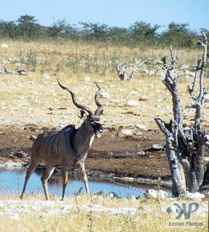 cd13-s28.jpg - Greater Kudu (Tragelaphus strepsiceros)