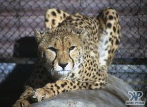 cd14-s04.jpg - Cheetah