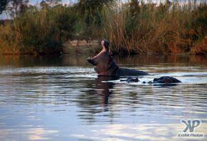 cd14-s10.jpg - A Hippopotamus