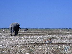 cd14-s30.jpg - Elephant, Springbok