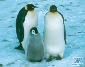 cd1025-s06.jpg - Emperor Penguin family