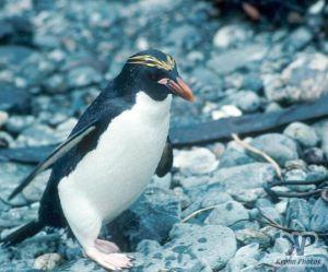 cd1025-s08.jpg - Macaroni Penguin