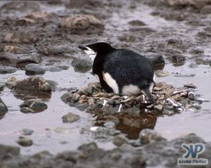 cd1025-s09.jpg - Chinstrap Penguin