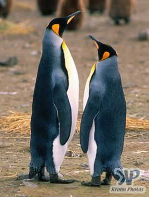 cd1025-s22.jpg - King penguins