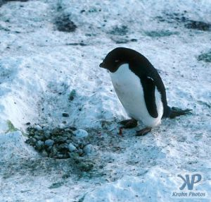 cd1025-s29.jpg - Adelie penguin