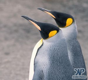 cd1026-s04.jpg - King penguins