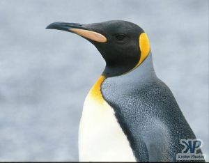 cd1026-s07.jpg - Emperor penguin