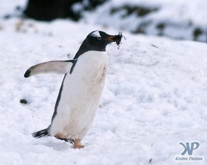 cd1026-s08.jpg - Gentoo penguin