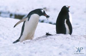 cd1026-s10.jpg - Two Gentoo penguins