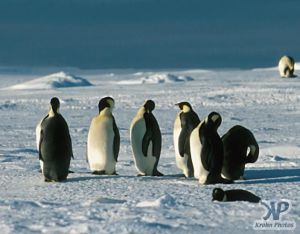 cd1026-s13.jpg - A group of Emperor penguins(New)