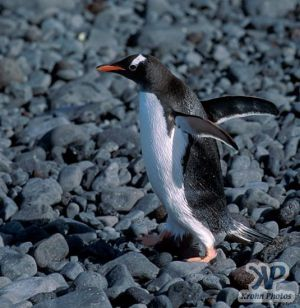 cd1026-s24.jpg - Gentoo penguin