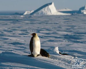 cd1026-s28.jpg - Emperor penguin
