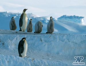 cd1026-s29.jpg - Emperor penguins