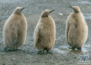 cd1025-s04.jpg - King penguin chicks