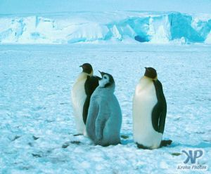 cd1025-s11.jpg - Emperor Penguins